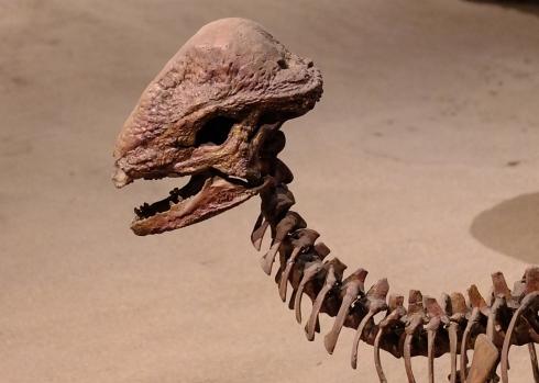 DSCF9591e dome headed dinosaur